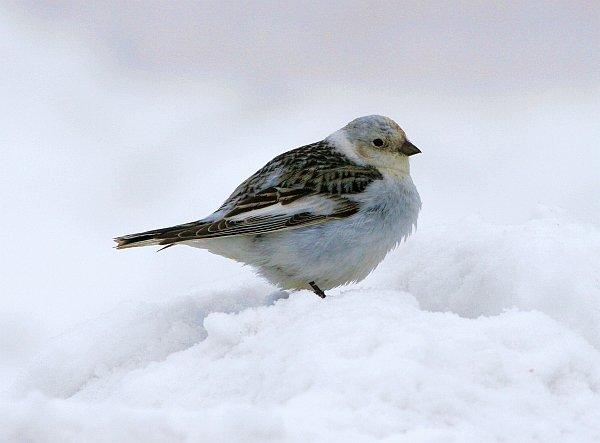 winter-bird-walk-snow-bunting