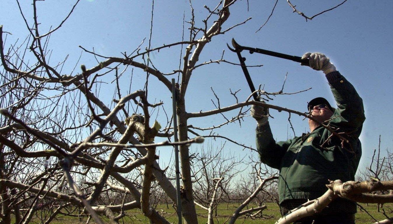 Fruit tree pruning artsipelago for Potatura pesco